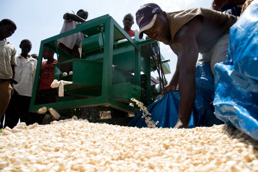 Workers load a corn sheller machine.