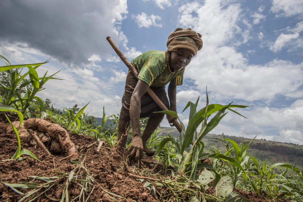 a female farmer picks corn in a field