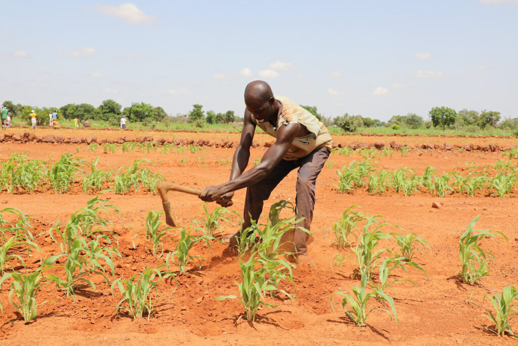 A man works in his corn field.