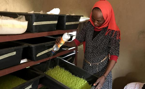 A woman in a red headwrap tends to a box of hydroponically grown animal fodder.
