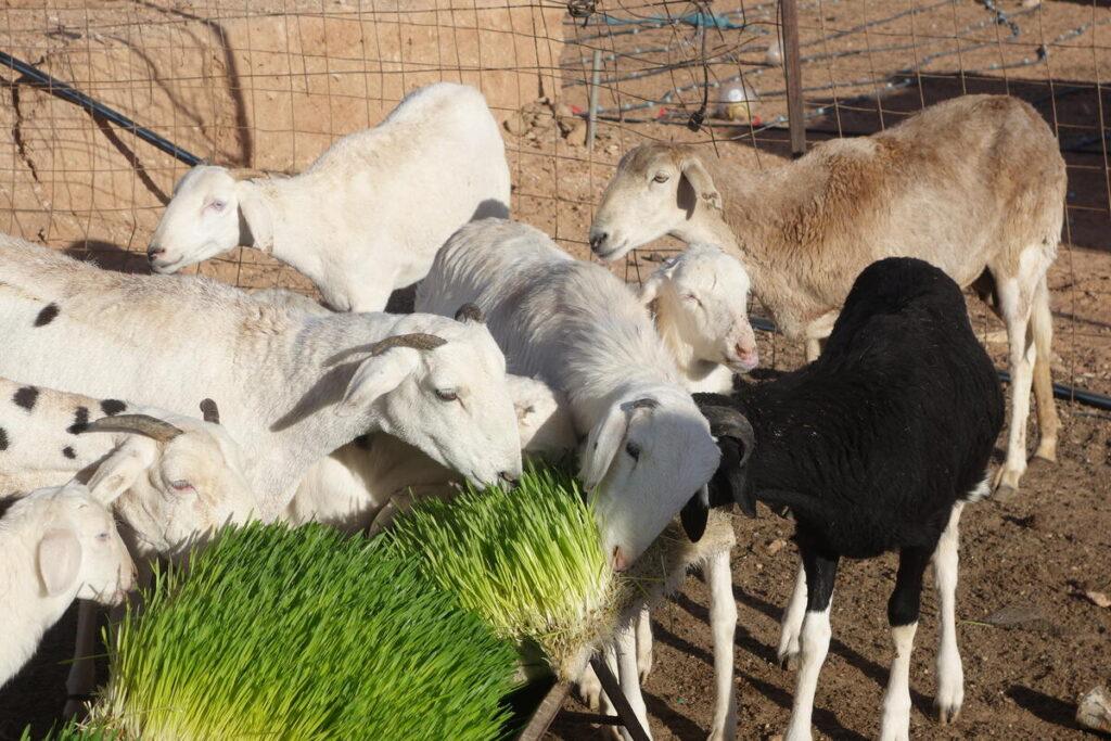 A herd of goats munch on green grass