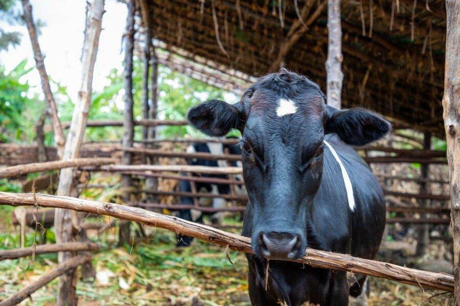 cow on a dairy farm