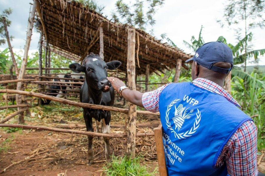 man in WFP vest reaches out to cow