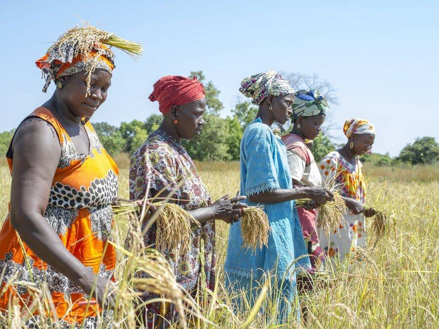 women harvesting in field