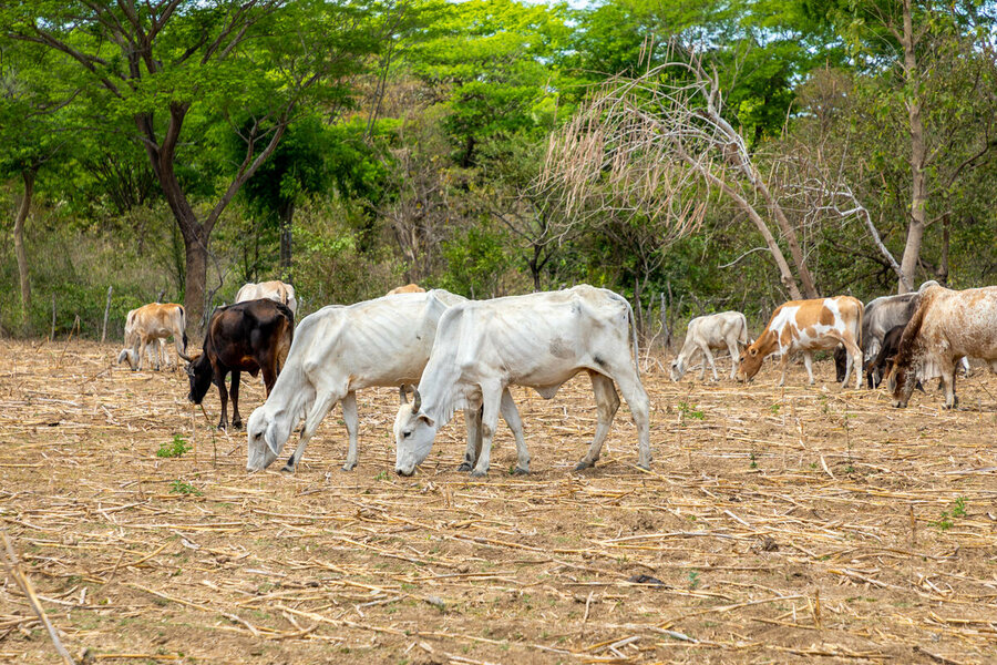 cows in on dried up farmland
