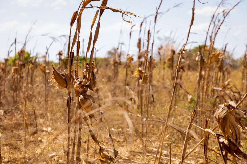 dried up crops