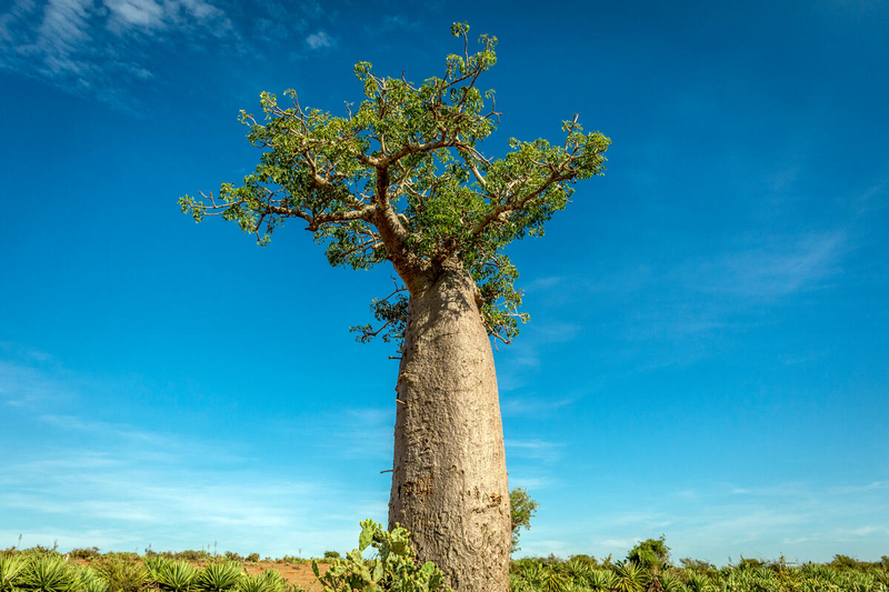 Large tree in extreme drought of Madagascar
