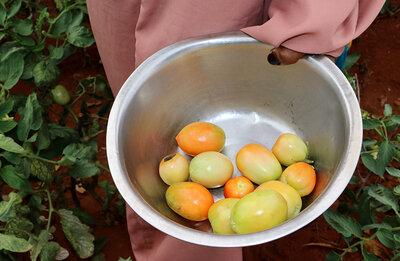 yellow and orange tomatoes in grey bin